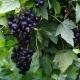 Смородина «Сибилла»: характеристика и правила выращивания
