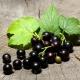 Смородина «Сокровище»: характеристика и выращивание сорта