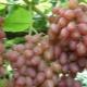 Сорта винограда: особенности и отличия
