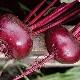 Свекла «Бордо 237»: характеристика и выращивание