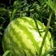 Технология выращивания арбузов в теплице