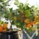 Тонкости выращивания апельсинового дерева в домашних условиях