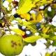 У яблони светло-зеленые листья: чем это объясняется и что делать?