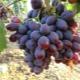 Виноград «Алиса»: характеристика сорта и выращивание