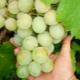 Виноград «Кеша»: описание и процесс выращивания