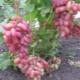 Виноград «Юлиан»: описание сорта, посадка и уход