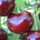 Вишне-черешневые гибриды: описание сортов, опылители, посадка и уход
