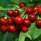Вишня «Харитоновская»: характеристика и агротехника
