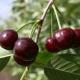 Вишня «Молодежная»: описание и выращивание сорта