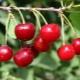Вишня «Тургеневка»: описание и выращивание сорта