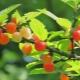 Вишня войлочная: описание, сорта и секреты выращивания