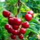 Вредители и болезни вишни: описание и способы борьбы