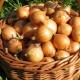 Выращивание лука: этапы и секреты хорошего урожая