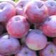 Яблоня «Алеся»: описание сорта яблок, особенности посадки и ухода
