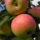 Яблоня «Анис»: описание и разновидности сорта, рекомендации по агротехнике