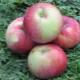 Яблоня «Антей»: характеристика сорта, посадка и уход