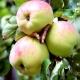 Яблоня «Антоновка»: описание сорта, разновидности и выращивание
