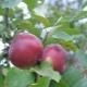Яблоня «Белорусское сладкое»: описание сорта и советы по выращиванию