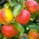 Яблоня «Благая весть»: описание сорта, посадка и дальнейший уход