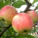 Яблоня «Чемпион»: особенности сорта и агротехника