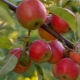 """Яблоня """"Джонатан"""": описание сорта и агротехника"""
