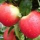 Яблоня «Эрли Женева»