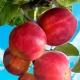 Яблоня «Горнист»: описание и выращивание сорта