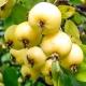 Яблоня «Китайка золотая»: характеристика, посадка и дальнейший уход