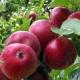 Яблоня «Коваленковское»: характеристика и агротехника