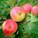 Яблоня «Краса Свердловска»: описание сорта и особенности выращивания