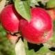 Яблоня «Малиновка»: описание сорта и выращивание