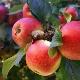 Яблоня «Мечта»: описание сорта, посадка и уход