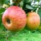 Яблоня «Медуница»: описание сорта, посадка и уход
