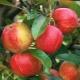 Яблоня «Приземленное»: описание сорта и секреты посадки и ухода за деревом