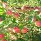 Яблоня «Рождественское»: описание сорта, посадка и уход