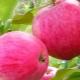 Яблоня «Розовый налив»: описание сорта и агротехника