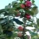 Яблоня «Серебряное копытце»: описание сорта, посадка и уход