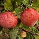 """Яблоня """"Штрейфлинг"""" («Осеннее полосатое»): описание сорта яблок, посадка и уход"""