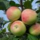 Яблоня «Строевское»: описание сорта и агротехника