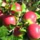 Яблоня «Уэлси»: характеристика сорта и советы по агротехнике