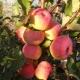 Яблоня «Услада»: особенности сорта, посадка и уход