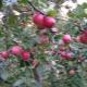 Яблоня «Веньяминовское»: описание сорта, посадка и уход