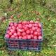Яблоня «Заветное»: особенности сорта и выращивания