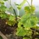 Заболевания листьев огурцов и правила лечения