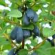 Жимолость «Фиалка»: описание сорта и выращивание