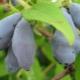 Жимолость «Изюминка»: характеристика и технология выращивания