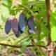 Жимолость «Нимфа»: описание и выращивание сорта