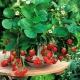 Ампельная клубника: сорта, советы по выращиванию и уходу