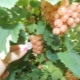 Белая смородина: свойства, сорта, выращивание и применение