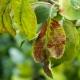 Болезни листьев яблони и способы борьбы с ними